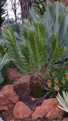 E.heenanii Home Garden Design, Home And Garden, African Plants, Tropical Landscaping, Plant Species, Planting Seeds, Plant Decor, Beautiful Landscapes, Evergreen