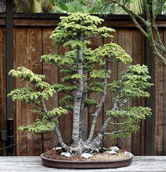 group style Atlas Cedar (Cedrus libani var. atlantica)