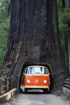 VW Bus. Drive-thru Tree. A Perfect Fit