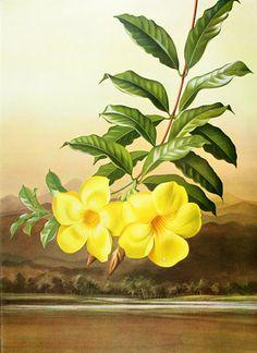 Allamanda cathartica var. grandiflora