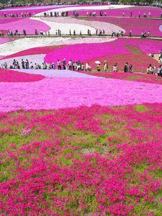Hill of Phlox Subulata in Hitsujiyama Park (羊山公園) - Chichibu, Japan