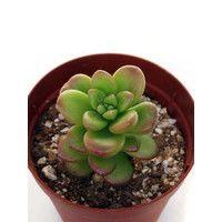 松の緑 Cacto-Loco - Yahoo!ショッピング 学 名:Sedum lucidum 流通名:松の緑(まつのみどり)