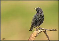 by Arshad Ashraf - Photo 163775453 / Starling, Pigeon, Beautiful Birds, Pets, Pictures, Animals, Free, Space, Gallery