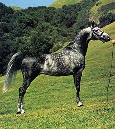 Dappled Grey  BARBAADOS #183774 (*Bandos x *Bajkaa, by Comet) 1974 grey stallion bred by Janow Podlaski State Stud; imported to the US by *Barbaados Associates.