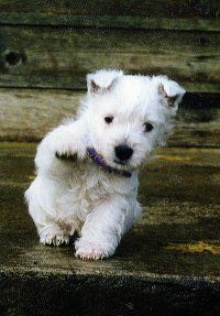 westie being too cute to resist!  Never had one with ears down.  My boys ears perked early