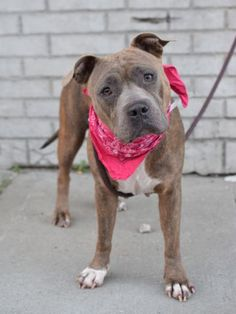 SAFE 6-5-2015 t ---  Brooklyn Center HERO – A1037400 FEMALE, GRAY / WHITE, AM PIT BULL TER MIX, 2 yrs STRAY – STRAY WAIT, NO HOLD Reason STRAY Intake condition EXAM REQ Intake Date 05/24/2015