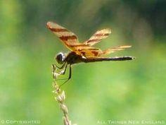 Zebra Dragonfly