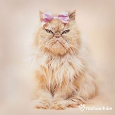 Charlotte (Red Self Persian) - Charlotte…… what d'ya mean….. I am smiling. (pic by Rachael Hale)
