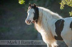 8700-711.jpg :: Gypsy Vanner Horse Stallion
