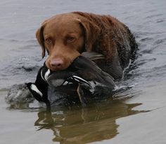 Brushwaters Chesapeakes- this is where our boy Cruise came from.  I think this is him.