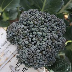 Umpqua Broccoli :: 60 days. This superior open-pollinated variety was first developed at Territorial many years ago. Beautiful, uniform heads, ability to produce over a long harvest window, generous side shoot production, season-long growth.