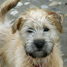 Soft Coated Wheaton Terrier Puppy