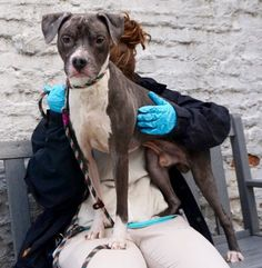 SAFE❤️❤️ 2/10/17 BY AMSTERDOG ANIMAL RESCUE❤️ THANK YOU SO MUCH❤️❤️ Manhattan center DESI – A1098780 ***DOH HOLD RELEASED*** SAFER: AVERAGE HOME*** MALE, GRAY / WHITE, PIT BULL MIX, 2 yrs STRAY – ONHOLDHERE, HOLD FOR DOH-V Reason OWN EVICT Intake condition EXAM REQ Intake Date 12/05/2016, From NY 10454, DueOut Date 12/16/2016, I came in with Group/Litter #K16-083480