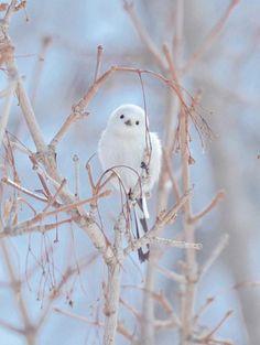 Long-tailed tit.  Hokkaido, Japan