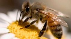 """As abelhas usam simbolismos e conceitos abstratos para resolver os problemas diários. """"Elas possuem uma memória caleidoscópica de cada flor dentro de uma área de quilômetros. Além disso, as abelhas aprendem com as mais velhas quais são as melhores flores"""", disse Lieff para o Discovery News.  O mais incrível é que esses pequenos insetos conseguem se automedicar dentro das colmeias de várias maneiras diferentes. Isso sem contar as estruturas complexas feitas para armazenar o mel. Mas, estão…"""