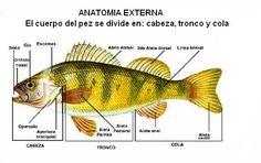 los peces son animales acuáticos.su cuerpo está cubierto de escama y tiene forma hidrodinámica. Tienen aletas para impulsarse. los peces toman el oxígeno disuelto en el agua gracias a unos órganos llamados branquias. las branquias están situadas en unas aberturas en los laterales de su cabeza. casi todos los peces son ovíparos y ponen los huevos. estos no tienen cáscara.