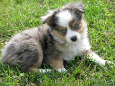 miniature aussies for sale in texas | Toy+australian+shepherd+puppies+for+sale+in+michigan
