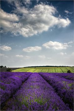Snowshill Lavender, Hill Barn Farm Cottage, Broadway, Worcestershire