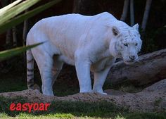 Maltese Tiger   WELCOME TO ANIMAL PLANET 09