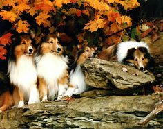 Shelties in Autumn by shownoff, via Flickr