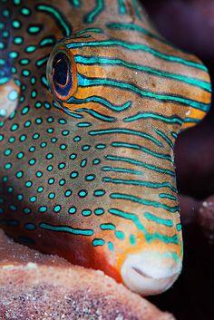 Puffer fish - ©Andrey Narchuk - www.flickr.com/photos/torchuck/8642076685/