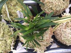62. MIZUBASHOU 水芭蕉 Golden Star, Orchids, Plants, Plant, Planets, Orchid