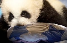 A two month old Giant Panda is presented to the public for the first time at Madrid's zoo