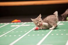 10 Adorable Photos from upcoming 'Kitten Bowl' | This Dish Is Veg - Vegan, Animal Rights, Eco-friendly News