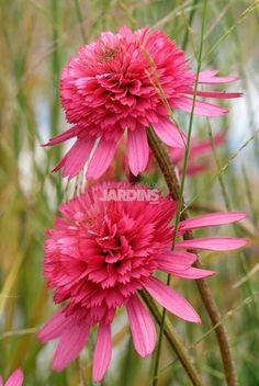 Rudbeckia pourpre 'Pink Double Delight' Echinacea purpurea