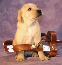 Guide dog to be! :)  Being a guide dog is a job you have to grow into!
