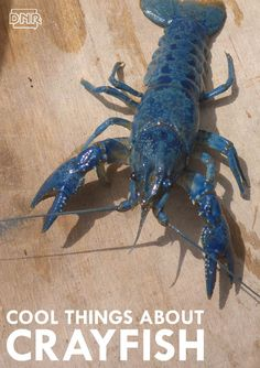 Cool things you should know about crayfish   Iowa DNR