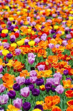 A photograph of gorgeous tulips in orange, purple, red, and yellow.