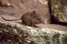 Elephant shrew (Elephantulus pilicaudus) aww it's soo cute!! I want one!
