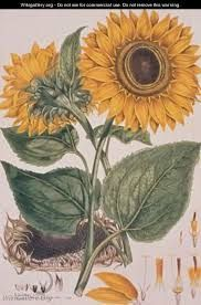 CC wk 14 art Helianthus annus Sunflower illustration for an English translation of a botanical treatise by Carolus Linnaeus 1777 from the Plate Collection of the Botany Library - John Miller Vintage Prints, Vintage Botanical Prints, Botanical Drawings, Botanical Art, Sunflower Illustration, Botanical Illustration, Illustration Art, Illustrations, Art Floral