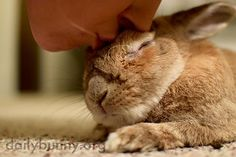 Sleepy bunny gets a kiss from his human - January 8, 2015