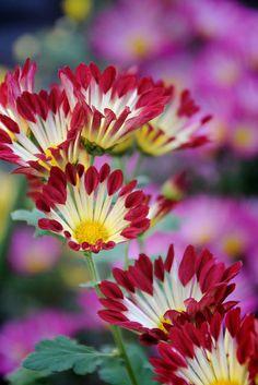 Garden Flowers - Annuals Or Perennials Chrysanthemum By Mizuk All Flowers, Exotic Flowers, Amazing Flowers, Beautiful Flowers, Simply Beautiful, Beautiful Pictures, Potager Bio, Zinnias, Chrysanthemums