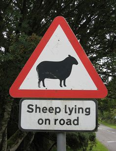 Sheep lying on road