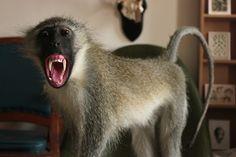 Taxidermy Vervet Monkey. Mandibles, Cape Town