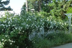 White rose hedge covered picket fence by AGalWithACamera.deviantart.com on @DeviantArt