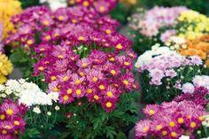 Viete sa postarať o chryzantémy? Poradíme vám, na čo sa najviac sústrediť