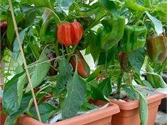 Zeleninu pěstuje v samozavlažovacích truhlících. Úrodu má neskutečnou - iDNES.cz Pesto, Stuffed Peppers, Vegetables, Food, Compost, Stuffed Pepper, Essen, Vegetable Recipes, Meals