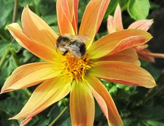 A little bumble bee loves the Dahlia too