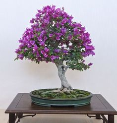 Bonsai tree. purple flowers.
