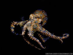 The best places in the world to dive with the planet's deadliest, most dangerous animals, like crocodiles and blue-ringed octopuses. Octopus Crafts, Octopus Art, Deadly Animals, Dangerous Animals, Octopus Photography, Animal Photography, Octopus Vulgaris, Octopus Pictures, Octopus Tattoos