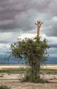 Peek-a-boo giraffe might be the world's worst hide and seek player