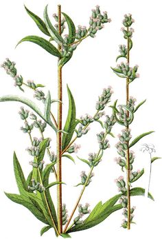 Today's Medieval herb: Mugwort Mugwort is said to have been gifted to mankind by mermaids, for protection and for prophecy. Mugwort shows up frequently in rituals about life and death, prophecy,. Vintage Botanical Prints, Botanical Drawings, Botanical Illustration, Healing Herbs, Medicinal Herbs, Flower Catalogs, Herbal Cure, Botanical Flowers, Science And Nature