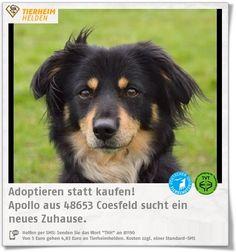 Apollo war sehr unsicher, aber im Tierheim Coesfeld macht er große Fortschritt  http://www.tierheimhelden.de/hund/tierheim-coesfeld/mischling/apollo/10707-0/  Apollo braucht viel Vertrauen und war wirklich unsicher. Er ist immer noch kein einfacher Hund, aber mit einem erfahrenen Menschen der ruhig und konsequent ist kann Apollo ein toller Hund werden. Er verträgt sich m