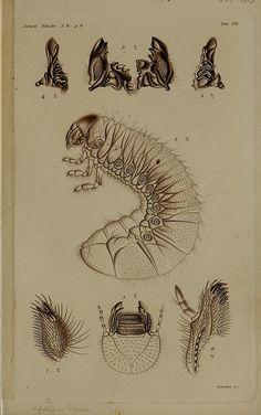 De metamorphosi eleutheratorum observationesby BioDivLibrary on Flickr.  Kjøbenhavn :Thieles Bogtrykkeri,1861-72..biodiversitylibrary.org/page/39691573