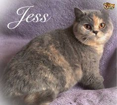 Lovely Blue Registered BSH Kittens   Walsall, West Midlands   Pets4Homes Pet Breeds, Puppy Breeds, Crazy Cat Lady, Crazy Cats, Cat Skin, British Shorthair Kittens, Walsall, Animal Activities
