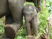 Lisa, a female elephant on WWFs Flying Squad, gave birth to a male calf a full month earlier than anticipated by her handlers at the Flying Squad basecamp in Tesso Nilo National Park, Sumatra, Indonesia.